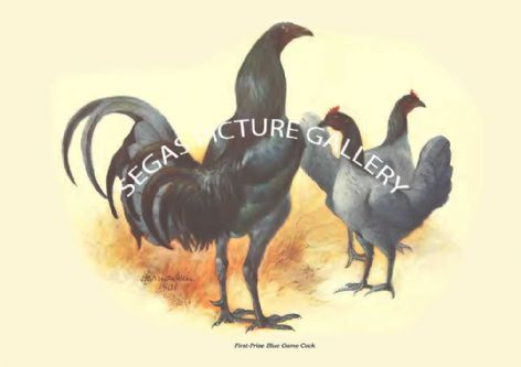 Fine art print of the  First-Prize Blue Game Cock by Harrison Weir (1904)